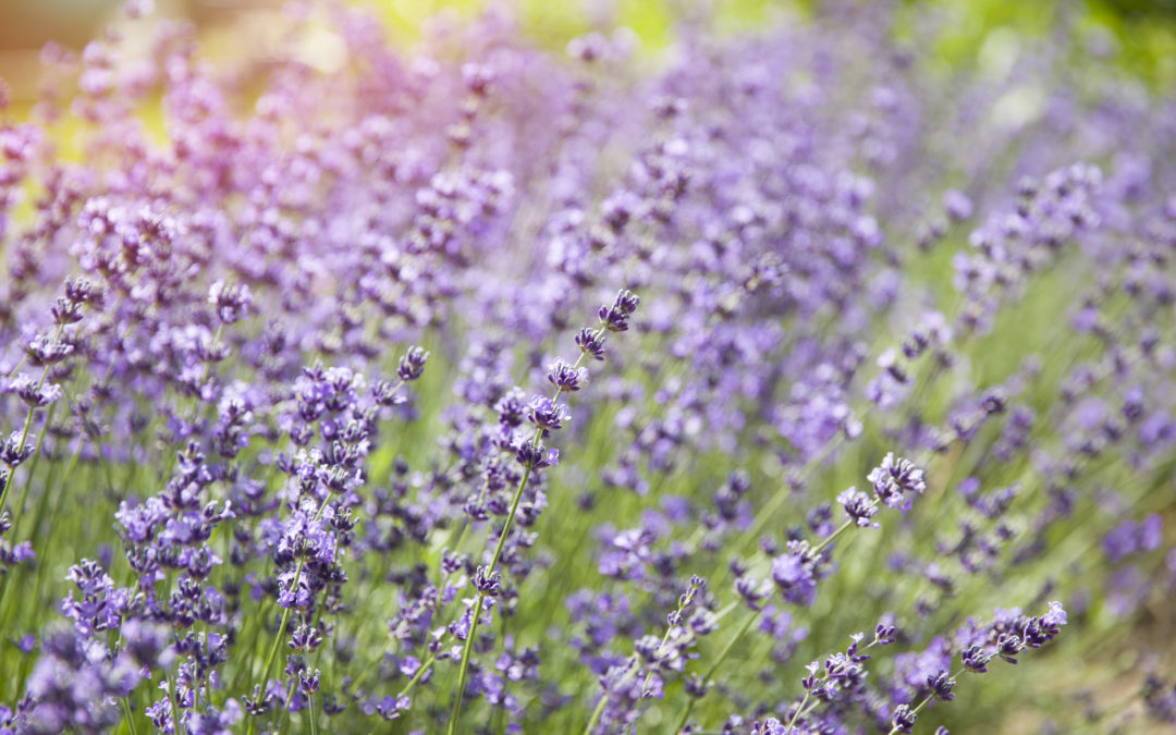 Lavender Flowers in natural sunlight