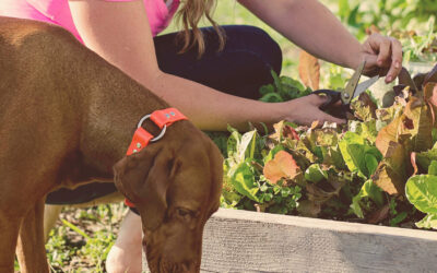 Essential Oils:  Proving Treatment for Hot Spots on Dogs